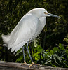 • Gatorland - Bird Rookery • Portrait of a Snowy Egret