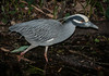• Gatorland - Bird Rookery • Yellow-crowned Night-Heron on the move