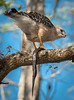 • Gatorland - Swamp Walk • Red-shouldered Hawk eating a snake