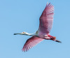 • Gatorland - Bird Rookery • Roseate Spoonbill in flight