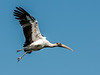 • Gatorland - Bird Rookery • Immature Wood Stork In flight