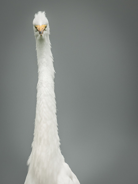The Great Egret says - What along neck I have!
