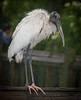 Wood Stork just hanging out in the rain.