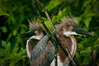 A pair of Tri-colored Heron Chicks
