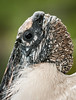Close-up of the Wood Stork's head