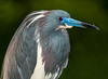 Tri-colored Heron with its breeding colors