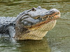 American Alligator bellowing
