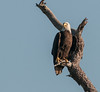 • Location - Canoe Creek Rd in Kenansville<br /> • One of the Eagle near its nest
