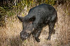 • Location -  Black Point Rd • Wild Boar on the move and was next to the road.