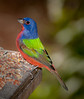• Photos from the Birding and Wildlife Festival • Location - Visitor's center • Painted Bunting
