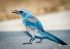 • Location - Playalinda Beach Entrance • Scrub Jay