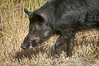 • Location -  Black Point Rd • Wild Boar