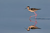 Black-necked Stilt going for a walk