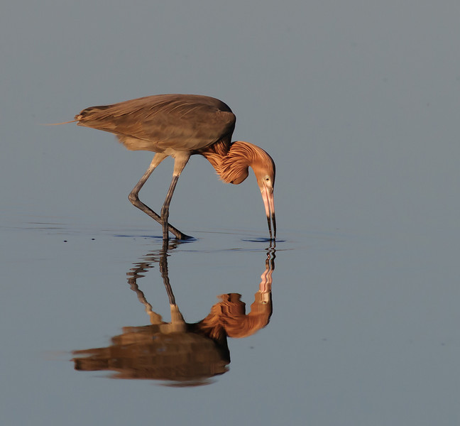 Reddish Egret looking for something to eat