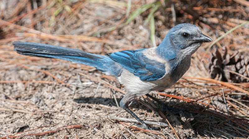 Scrub Jay keeping its eye on me