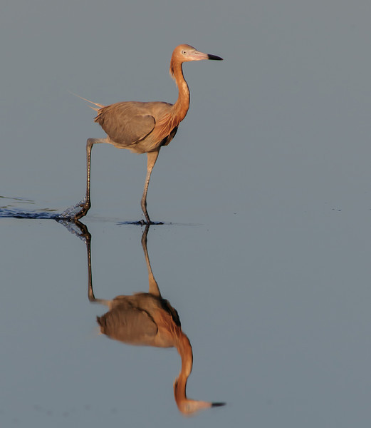 Reddish Egret on the move