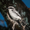 A close-up of a Loggerhead Shrike