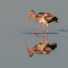 An juvenile White Ibis with its reflection