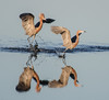 I didn't know the Reddish Egrets could walk on water