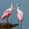 • Location - Black Point Drive • Pair of Roseate Spoonbills beak to beak