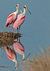 • Location - Black Point Drive • Pair of Roseate Spoonbills with their reflections