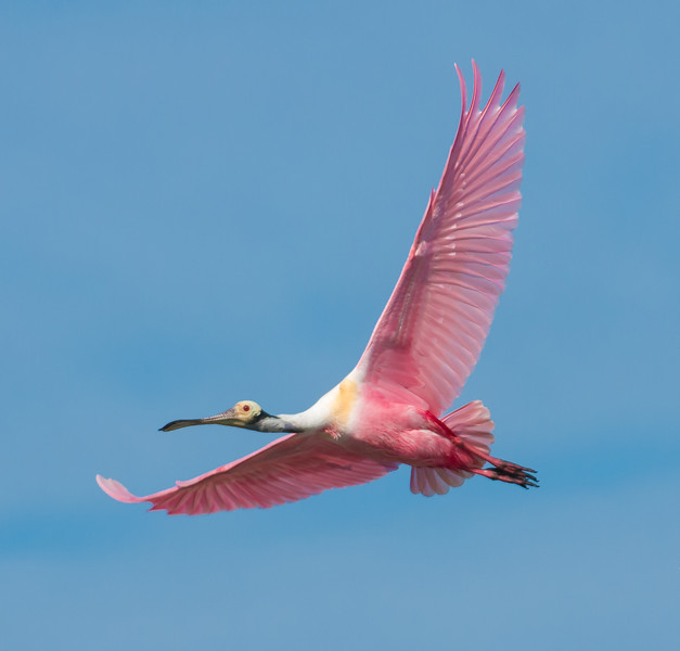 • Location - Black Point Drive • Roseate Spoonbill in flight
