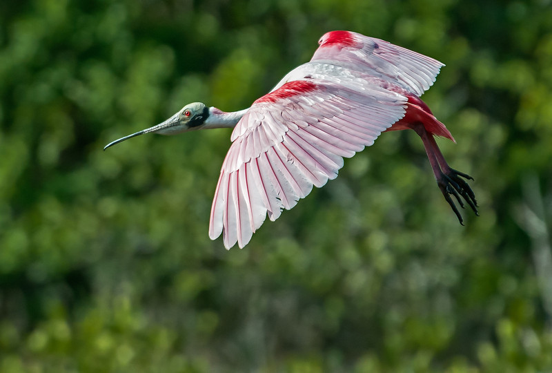 • Location -Black Point Drive • Roseate Spoonbill in flight