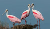 • Location - Black Point Drive • Trio of Roseate Spoonbills