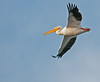• Location - Bio Lab Road • American White Pelican in flight towards the ocean