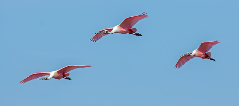 • Location -Black Point Drive • Trio of Roseate Spoonbills in flight