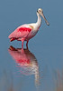 • Location - Black Point Drive • Roseate Spoonbill with its reflection