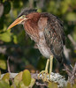 Portrait view of a juvenile Green Heron