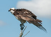 Osprey shaking its feathers