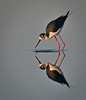 Black-necked Stilt with its reflection