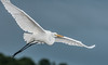 • Location - Black Point Road • Great Egret - Boy that is a wing span!