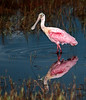 • Location - Black Point Road • Roseate Spoonbill - See my reflection