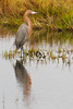 • Location - Gator Creek Road • Reddish Egret - These birds look more like Herons