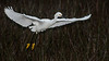 • Location - Black Point Road • Snowy Egret - Taking off!