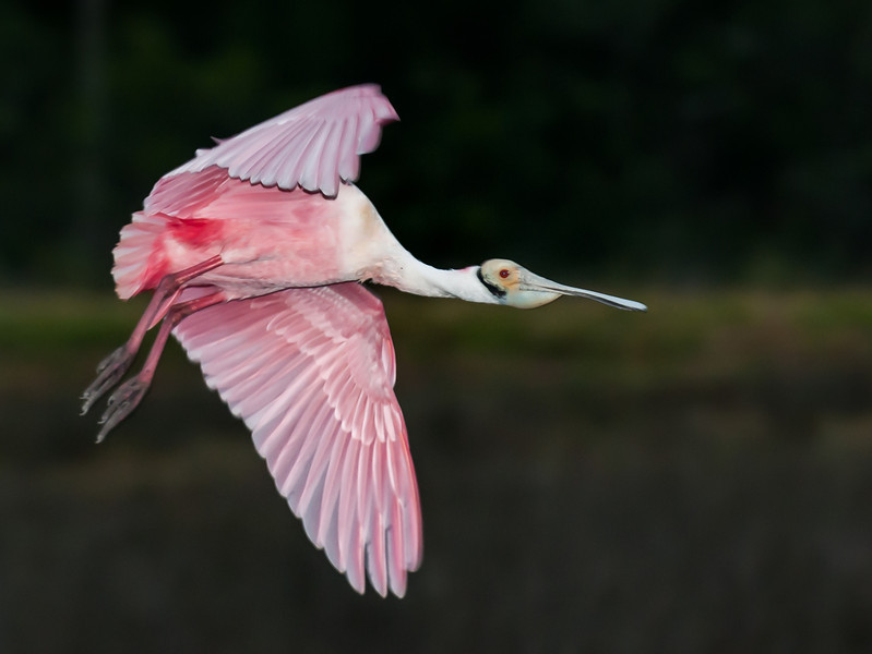 • Location - Black Point Road • Roseate Spoonbill
