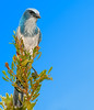• Location - Entrance to Playalinda Beach • Scrub Jay - Just taking it easy!