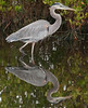• Location - Black Point Road • Great Blue Heron - Look at that beautiful reflection