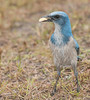 • Location - Entrance to Playalinda Beach • Scrub Jay - Thanks for the peanut