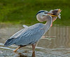 That's one enormous fish the Great Blue Heron Captured!