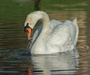 • Mute Swan • Yummy! But time to head back!
