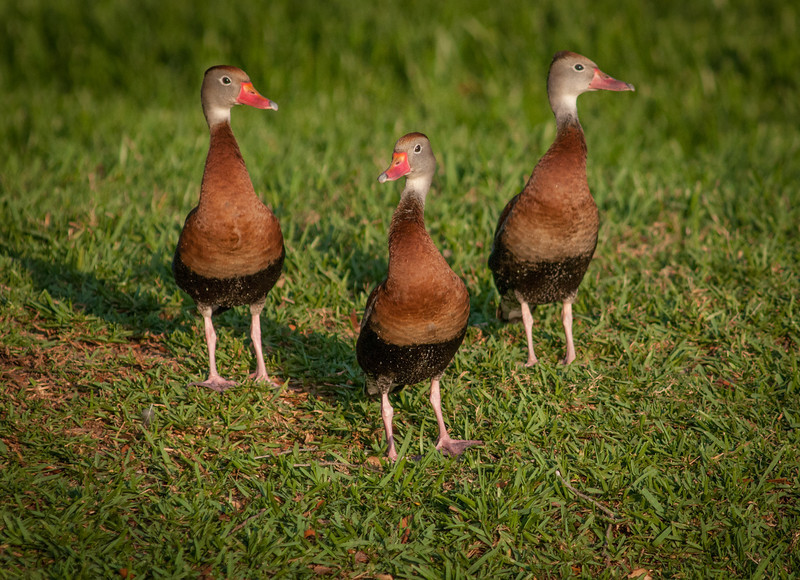 • Red-bellied Whistling Duck What are they looking at?
