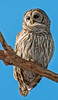 • Location - Moccasin Island Tract Road • Barred Owl