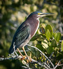 • Location - Black Point Drive at Merritt Island National Wildlife Refuge • Green Heron