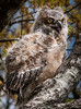 • Location - Brevard Junior College on Wickham Rd • Great Horn Owl Chick