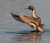 • Location - Black Point Drive at Merritt Island National Wildlife Refuge<br /> • Male Northern Pintail flapping its wings