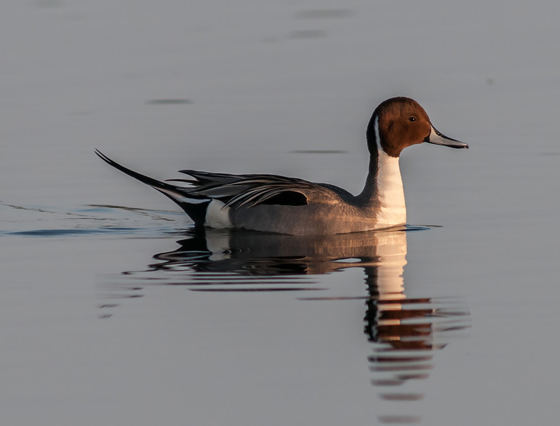 • Location - Black Point Drive at Merritt Island National Wildlife Refuge • Male Northern Pintail